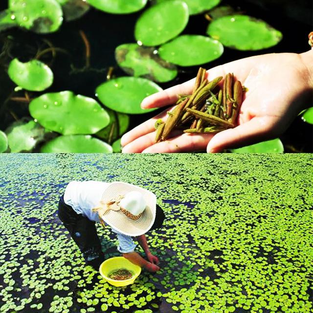 今盛美护肤品加工厂长期合作3000客户——植物黄金石柱莼菜系列